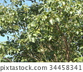chinese tallow tree, fruit, unripe 34458341