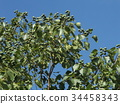 chinese tallow tree, fruit, unripe 34458343