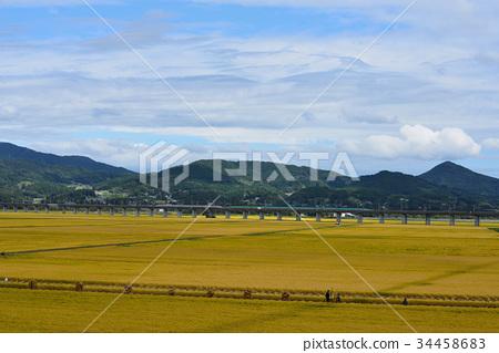 Harvesting rice in gold-colored fields Iwate Ichinoseki 34458683
