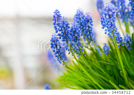 Background with blue flowers grape hyacinth 34458712