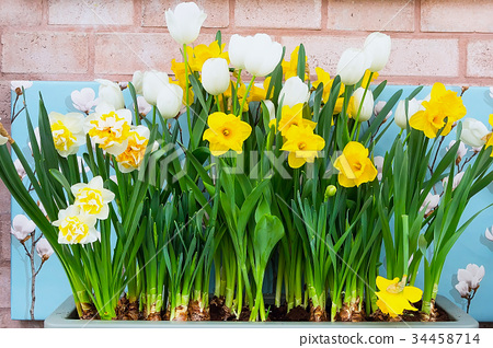 Row of Spring white and yellow Daffodils on brick 34458714