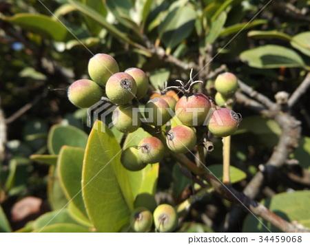 车轮梅猪苓 水果 生的 34459068