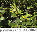 pittosporum tobira, japanese pittosporum, japanese mock-orange 34459069