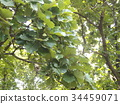 daimyo oak, leaf, leaves 34459071