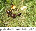 japanese horse chestnut, plot of land, horse chestnut 34459873