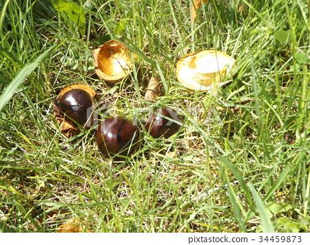 칠엽수, 마로니에, 열매 34459873