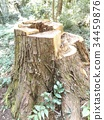 japanese cedar, stub, stump 34459876