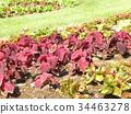 coleus, red, foliage plant 34463278