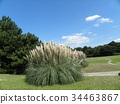 pampas grass, bloom, blossom 34463867