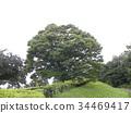 japanese zelkova, arboreal, large tree 34469417