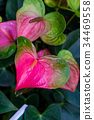anthurium also known as tailflower 34469558
