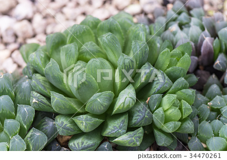 Succulent plants 34470261