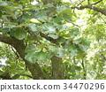 槲樹 樹葉 葉子 34470296