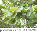 daimyo oak, leaf, leaves 34470299