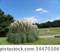 pampas grass, bloom, blossom 34470306