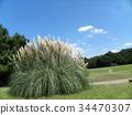 pampas grass, bloom, blossom 34470307