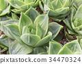 다육 식물 34470324
