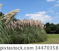 pampas grass, bloom, blossom 34470358
