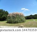 pampas grass, bloom, blossom 34470359