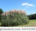 pampas grass, bloom, blossom 34470360