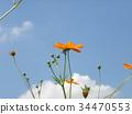 yellow cosmos, bloom, blossom 34470553