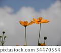 yellow cosmos, bloom, blossom 34470554