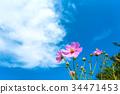 푸른, 하늘, 코스모스 34471453