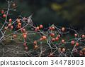紅褐色斑鳩 東方斑鳩 鳥兒 34478903