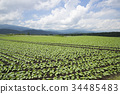 tsumagoi, cabbage, cabbages 34485483