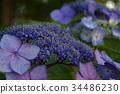hydrangea, bloom, blossom 34486230