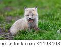 狐狸 幼兽 青草 34498408