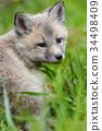 狐狸 幼兽 青草 34498409