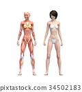 女性解剖肌肉3DCG例证材料 34502183