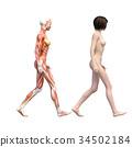女性解剖肌肉3DCG例证材料 34502184