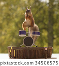 squirrel standing on a Drum Kit 34506575