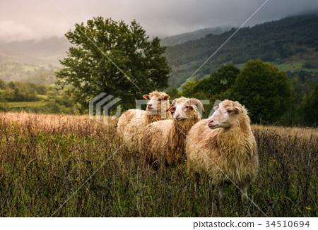 sheep grazing in a fog near old oak 34510694