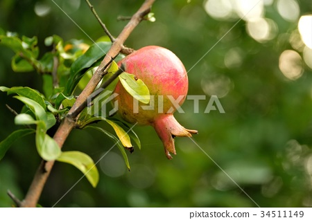 pomegranate 34511149