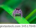 Spider 34517646