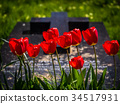 Red tulips and a grave 34517931