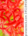 cluster amaryllis, red spider lily, licorice 34519459