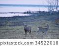 hokkaido, sika, deer 34522018