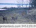 hokkaido, sika, deer 34522019