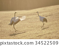red-crowned, crane, cranes 34522509