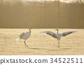 red-crowned, crane, cranes 34522511