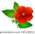 槿 植物 植物學 34528652