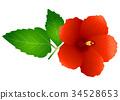 槿 植物 植物学 34528653
