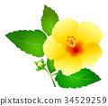 槿 植物 植物学 34529259