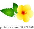 槿 植物 植物学 34529260