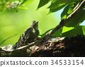 pygmy woodpecker, fledgling, fledgling bird 34533154