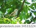 bush warbler, japanese bush warbler, nightingale 34533224